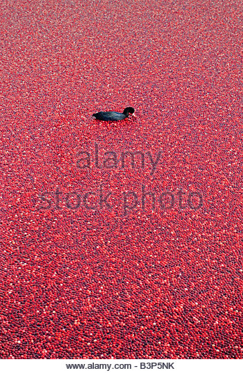 Moorhen Gallinula chloropus floating amongst a large raft of Vaccinium macrocarpon cranberry American cranberry - Stock Image