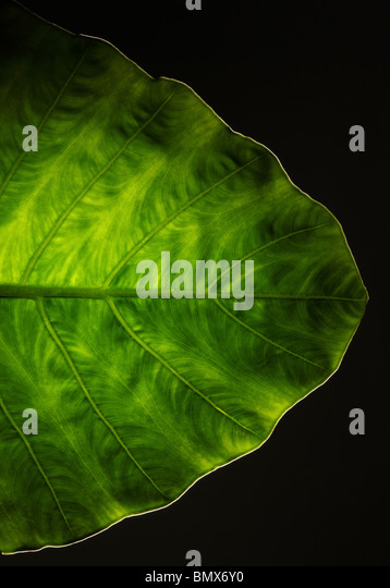 The end of a green plant leaf, black background - Stock Image