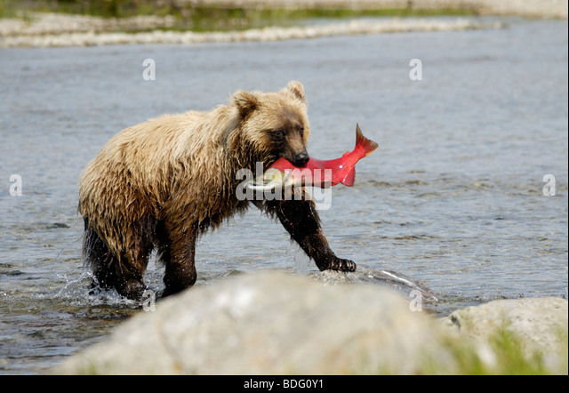 Brown bear or grizzly bear, Ursus arctos horribilis, with salmon, Katmai National Park, Alaska - Stock Image