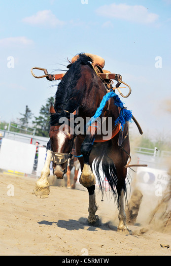 A horse still bucking after bucking off his rider at a rodeo event in central Alberta Canada - Stock Image
