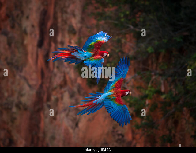 A pair of Red-and-green Macaws flying inside a sinkhole - Stock Image