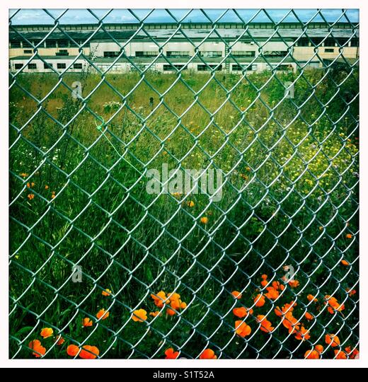 Poppies through chain link fence industrial building - Stock Image