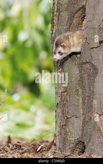 domestic polecat looking out of tree den / Mustela putorius f.furo - Stock Image