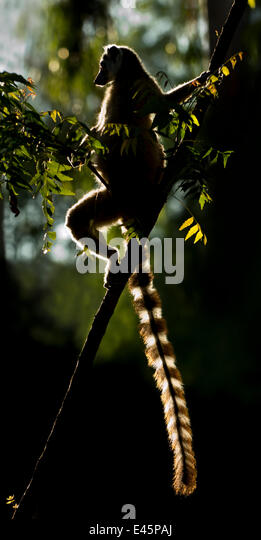 Ring-tailed Lemur (Lemur catta) sun basking at dawn. Berenty Private Reserve, southern Madagascar. - Stock Image