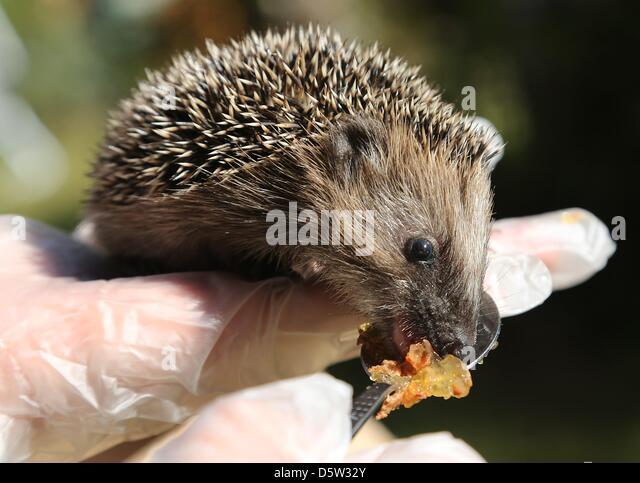 Hedgehog Cat Food Fat