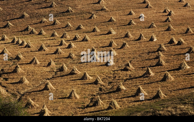 Piles of dried corn stalks sit in a field after harvest in Morelos State, Mexico, February 5, 2008. Photo/Chico - Stock Image