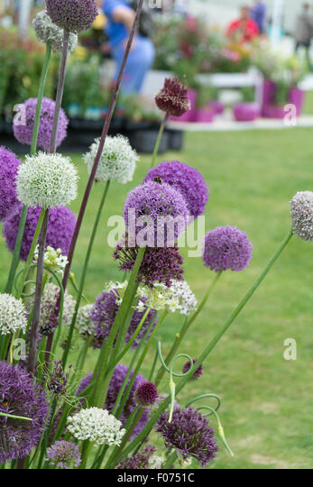 collection of Alliums at RHS flower show - Stock Image