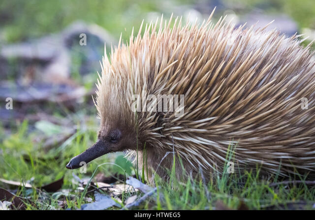 Echidna (Tachyglossidae) - Stock Image