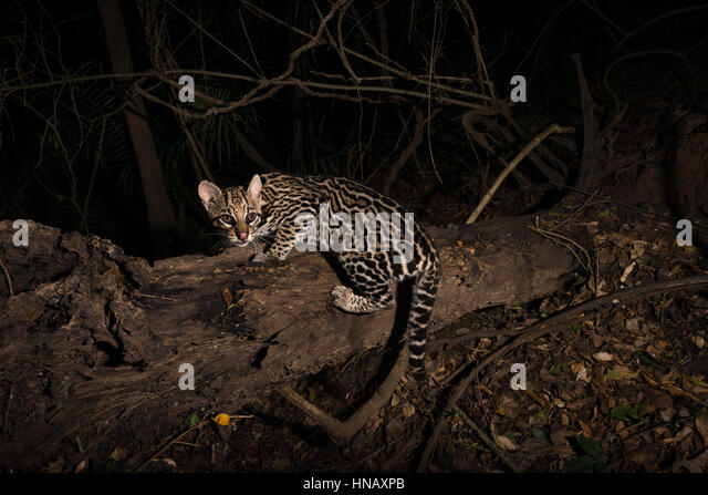 Ocelot exploring a brazilian forest at night - Stock Image