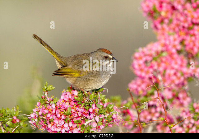 Green-tailed Towhee Pipilo chlorurus Mono Lake, California, United States 14 May Adult Emberizidae - Stock Image