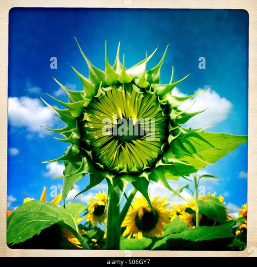 Sunflower waiting to open - Stock Image