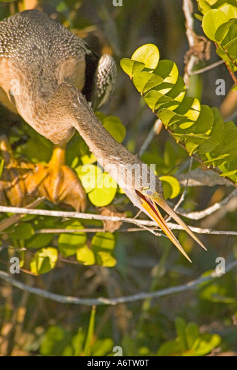Anhinga mouth open florida bird fl nature birding wildlife florida everglades national park anhinga trail - Stock Image