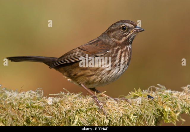 Song sparrow (Melospiza melodia) on perch at Vancouver Island, British Columbia, Canada - Stock Image