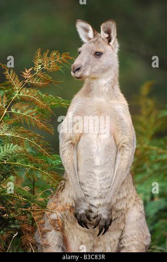 Western Grey Kangaroo Macropus fuliginosus adult standing Australia - Stock Image
