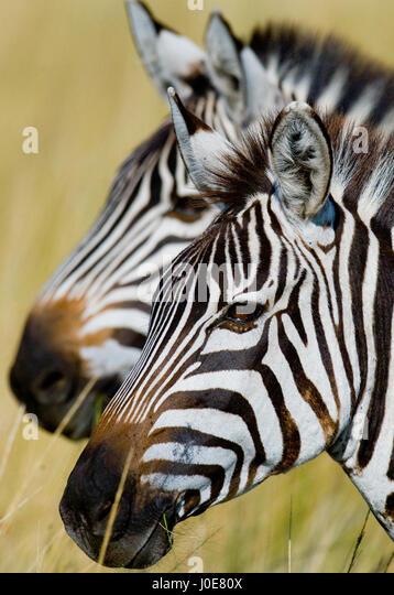 Portrait of two zebras. Kenya. Tanzania. National Park. Serengeti. Maasai Mara. An excellent illustration. - Stock Image
