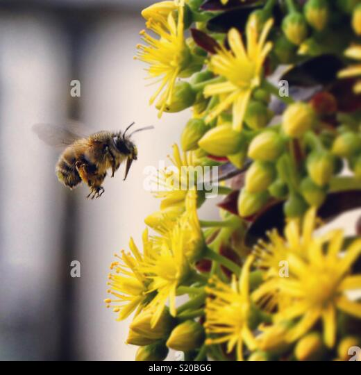 Bee near a yellow flower pollinating - Stock Image