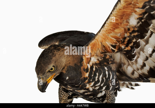 Crowned Eagle Stephanoaetus coronatus Carnivorous birds that feeds on small mammals. Distribution Mozambique and - Stock Image