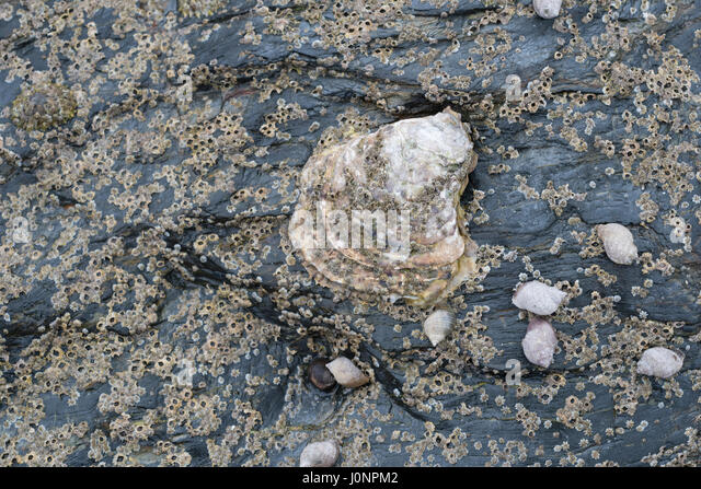 Type of oyster seen alongside periwinkles (Littorina sp.) on mid-shore rock formation at low tide. - Stock Image