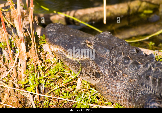 American alligator head portrait closeup fl nature birding wildlife  florida everglades national park reptile - Stock Image
