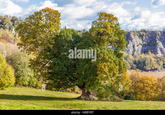 Autumn in the Wye Valley - An old oak tree beside the River Wye below the cliffs at Wintours Leap, Gloucestershire - Stock Image