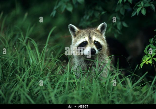 Raccoon (procycyon lotor) - Stock Image