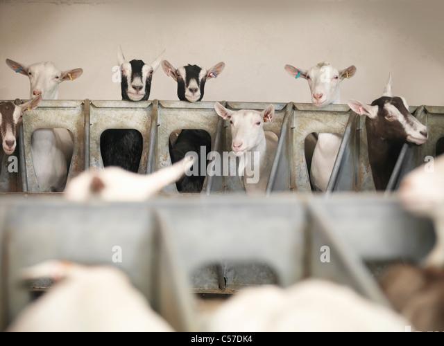 Goats examining milking station on farm - Stock Image