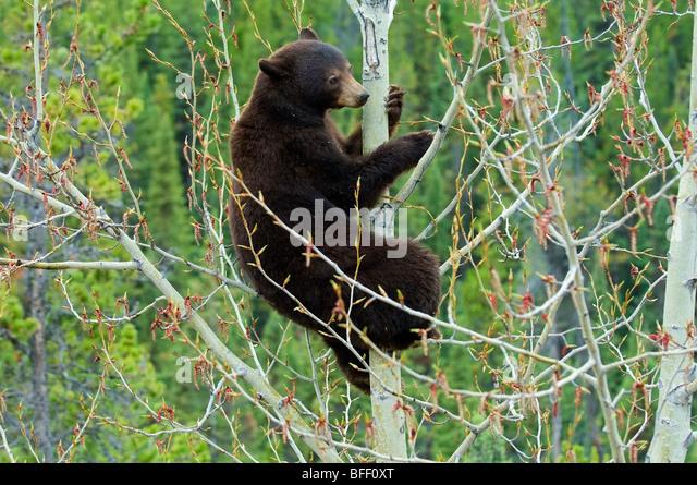 Chocolate-coloured American black bear (Ursus americanus) feeding on aspen catkins, Rocky Mountains, western Alberta, - Stock Image