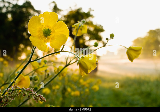 Meadow of Buttercups at sunrise.Angersleigh Somerset - Stock Image