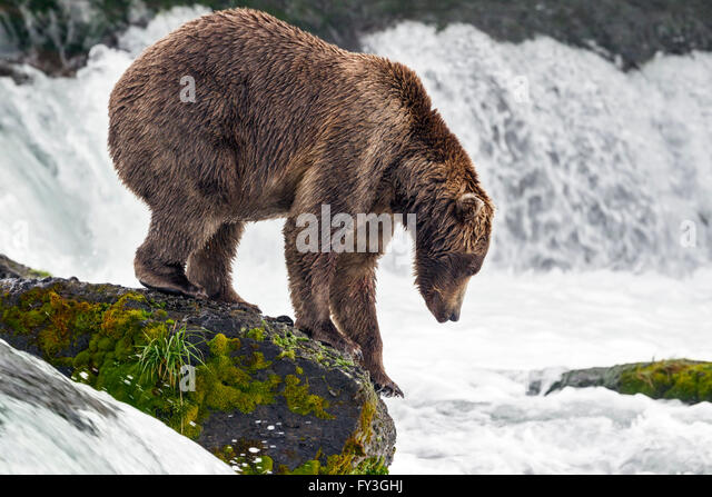 Male brown bear hunting spawning salmon at Brooks Falls, Katmai National Park, Alasja - Stock Image