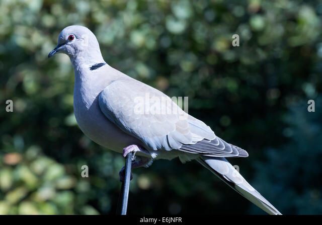 Eurasian collared dove (Streptopelia decaocto) perched on a wire hoop. - Stock Image