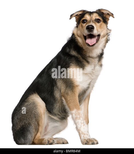 Mixed Australian shepherd dog, 8 months old, sitting in front of white background - Stock Image