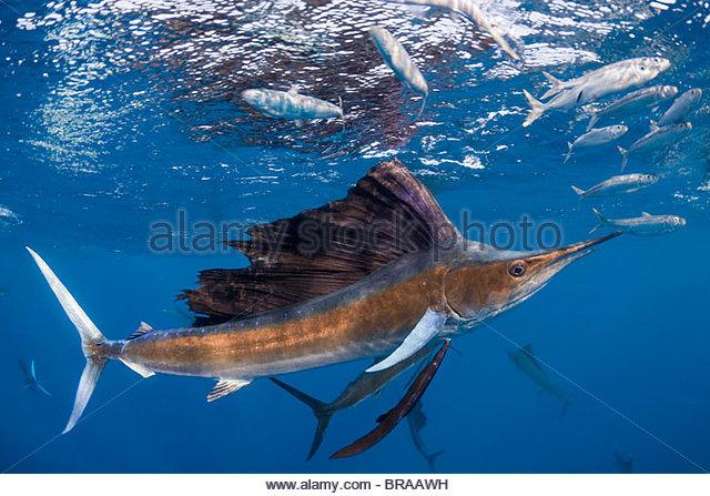 Atlantic sailfish {Istiophorus albicans} attacking bait ball of Spanish sardines {Sardinella aurita} off Yucatan - Stock Image
