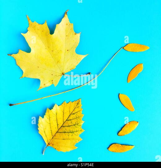 Yellow leaves against a blue background. - Stock Image
