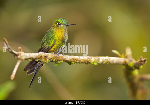 Golden-breasted Puffleg (Eriocnemis mosquera) perched on a branch at the Yanacocha reserve near Quito, Ecuador. - Stock Image