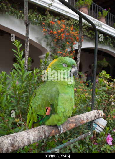 Central American green parrot. - Stock Image
