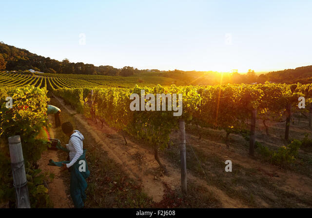 Row of vines with workers working in grape farm. People harvesting grapes in vineyard. - Stock Image