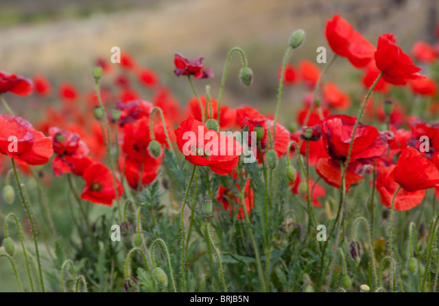 flower colourful colorful red poppy wildflowers  wild - Stock Image