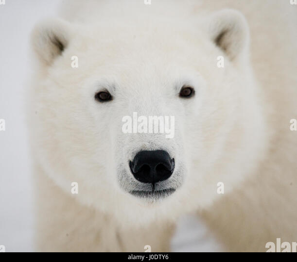 Portrait of a polar bear. Close-up. Canada. An excellent illustration. - Stock Image