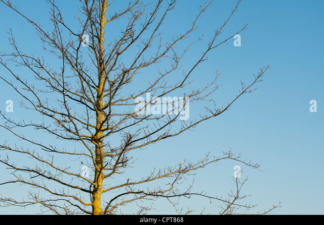 Quercus cerris. Bare turkey oak tree in early spring - Stock Image