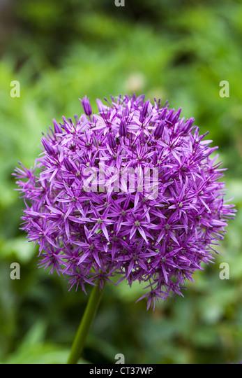 Allium 'Globemaster' in an English garden. - Stock Image