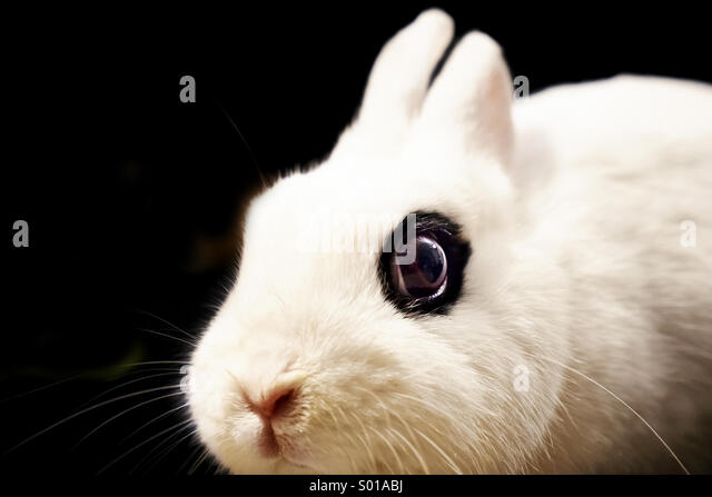 White rabbit close up - Stock Image