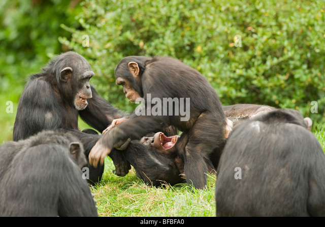 Chimpanzee (Pan troglodytes) West and central Africa. Captive - Stock-Bilder