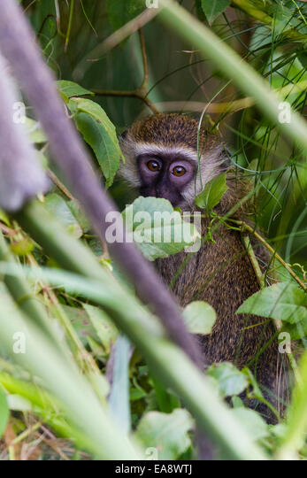 A bright eyed and inquisitive Vervet Monkey in Uganda - Stock Image