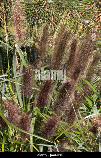 Ornamental Grasses Kenya : Grass pennisetum alopecuroides in autumn an ornamental with
