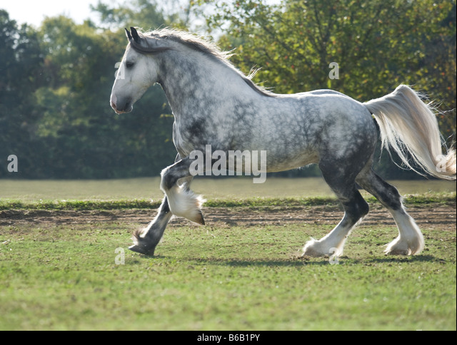 Drum Horse stallion - Stock Image