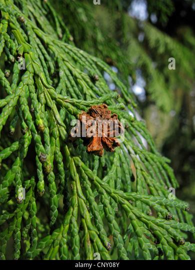 Lawson cypress, Port Orford cedar (Chamaecyparis lawsoniana), cone on a branch - Stock Image