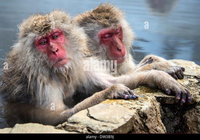 Japanese Snow Monkeys in Nagano, Japan. - Stock Image