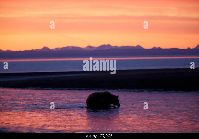 Brown / Grizzly Bear, Lake Clark National Park, Alaska. - Stock Image