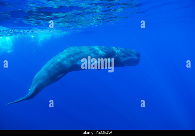 sperm whale underwater ,Physeter catodon, Physeter macrocephalus, Azores - Stock Image