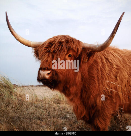 Highland cow standing in a field, Scheveningen, Netherlands - Stock Image